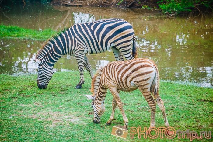 Зебры в Сафари Парке в Бангкоке