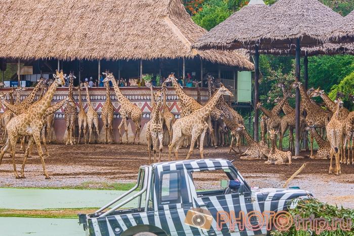 Жирафы в Сафари Парке в Бангкоке