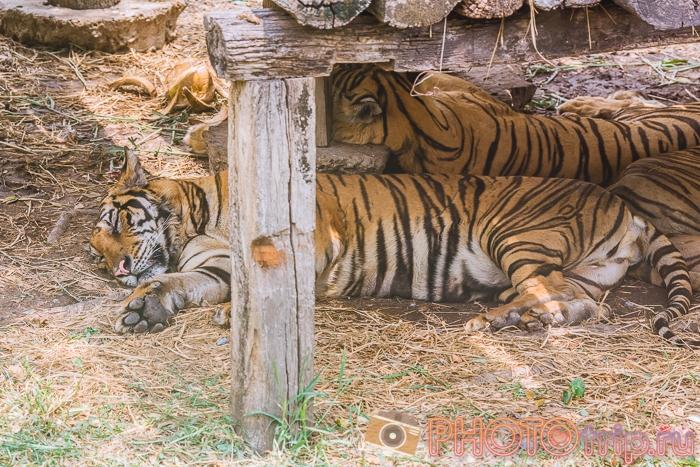 Тигры в Сафари Парке в Бангкоке