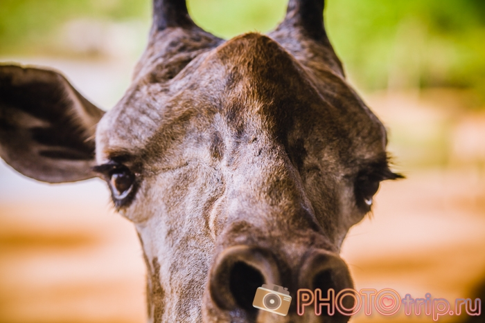 Жираф в Сафари Парке в Бангкоке