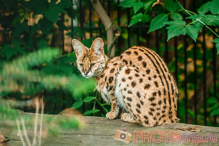 Кошка в Новосибирском зоопарке