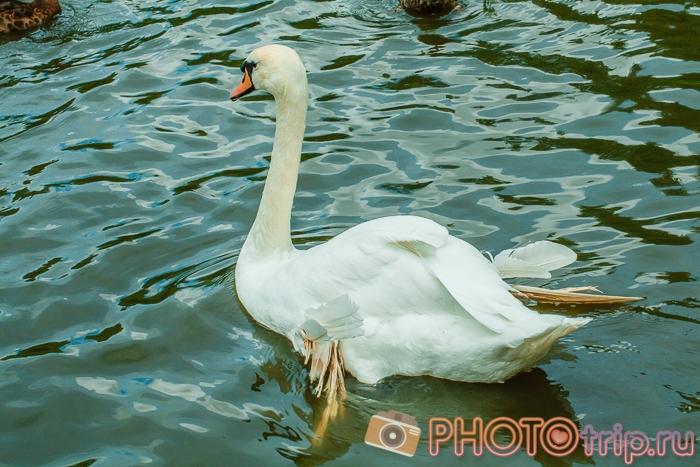 Лебедь в Новосибирском зоопарке