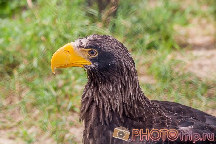 Орел в Новосибирском зоопарке