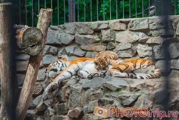 Тигр с тигренком в Новосибирском зоопарке