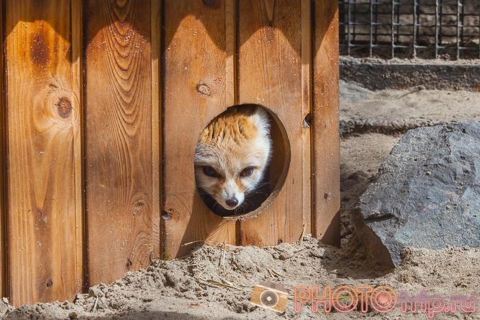 Фенек в Новосибирском зоопарке