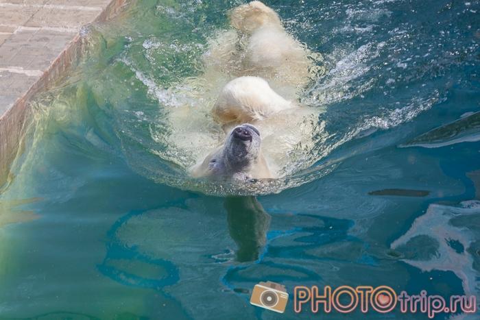 Полярный медведь в Новосибирском зоопарке