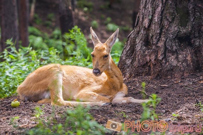 олень в Новосибирском зоопарке