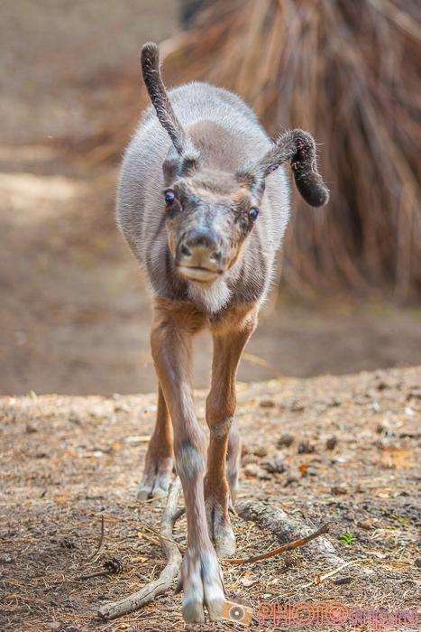 Северный олененок в Новосибирском зоопарке