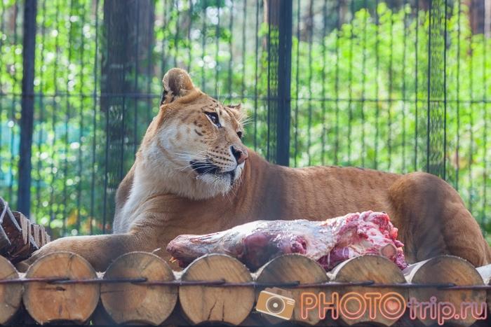 Лигр в Новосибирском зоопарке