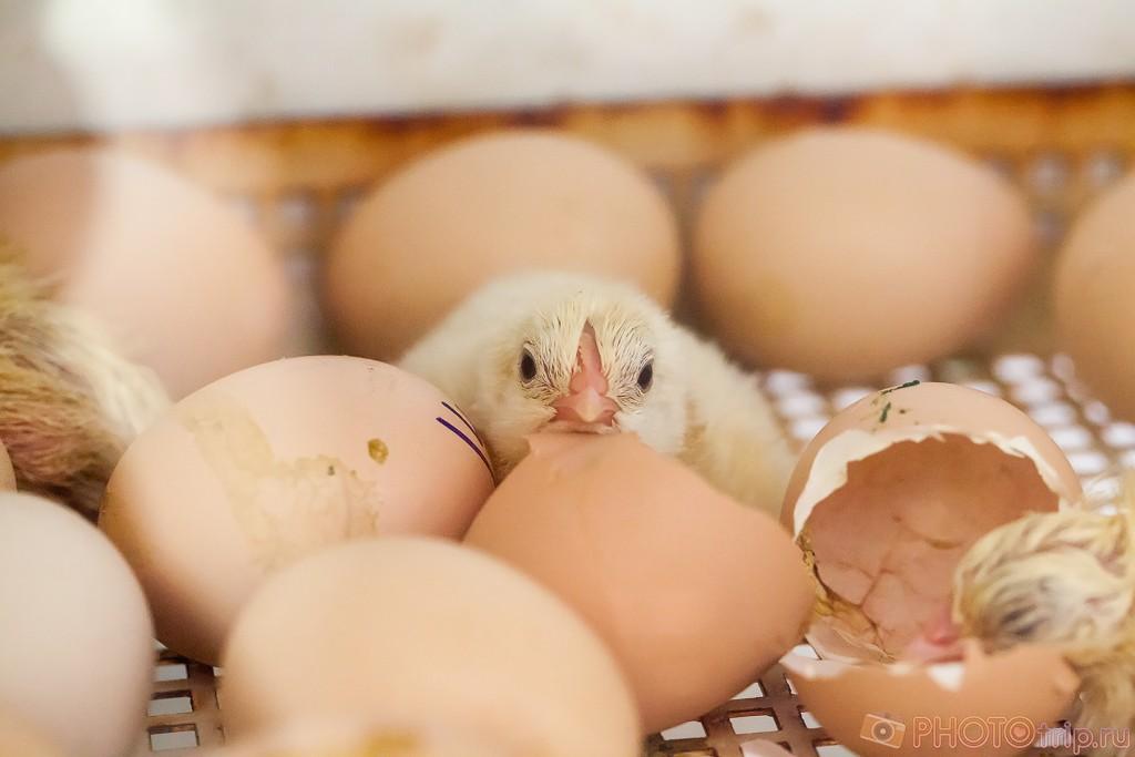 Недавно вылупившийся цыпленок в инкубаторе
