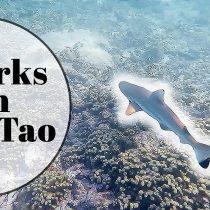 Reef sharks on Koh Tao